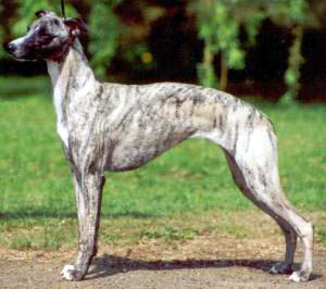 great dane dog photos