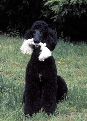T1236 additionally 1248225793tux besides Dog4 furthermore Snoop Dog S Dog Pics 76567 in addition T10159. on poodle dog