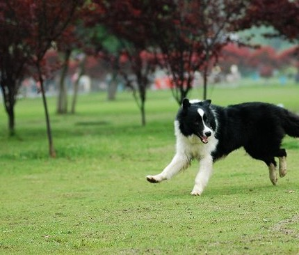 Australian Shepherd Breed Information  Vetstreet